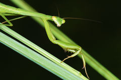 Mantis Stock Images