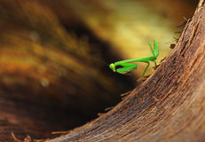 Mantis. A mantis on a coco leaf Royalty Free Stock Images