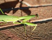 Mantis Stock Photos