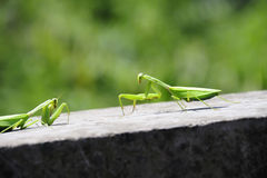 Mantis,confrontation. Two mantis confront each other Stock Photo