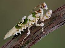 Mantis coperto di spine 10 Fotografie Stock Libere da Diritti