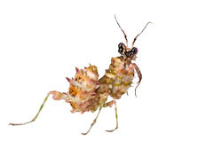 Mantis coperto di spine del fiore Fotografie Stock Libere da Diritti