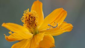 Mantis on the cosmos flower stock footage
