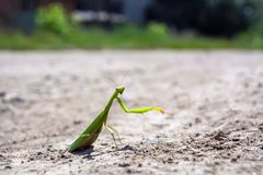 Mantis crawling on a dirt road in the midday sun royalty free stock photo