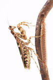 Mantis Creobroter gemmatus and the cocoon of her eggs Stock Images