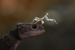 Mantis and Croc Skink Royalty Free Stock Images