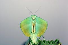 Mantis d'écran protecteur Photo libre de droits
