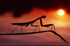 Mantis dans le coucher du soleil Photos stock