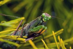 Mantis de grito Fotos de Stock