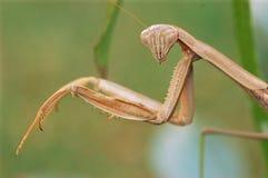 Mantis de la Caroline Photos stock