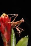 Mantis de prière Image stock