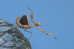 Mantis de prière Photographie stock