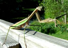 Mantis de prière Images stock