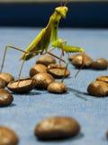 Mantis de prière Image libre de droits