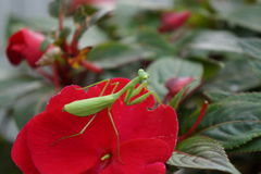 Mantis de prière 2 Photo libre de droits
