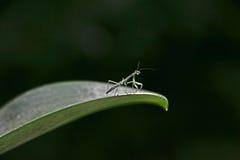 Mantis de prière de chéri Image libre de droits