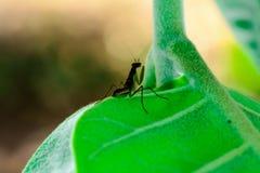 Mantis de prière de chéri Photo libre de droits