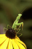 Mantis de prière sur Coneflower Images libres de droits
