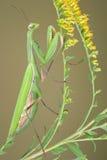 Mantis de prière sur l'or Images libres de droits