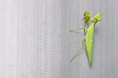 Mantis de prière sur l'au sol d'écran de fil de moustique Image stock