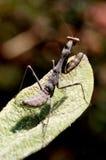 Mantis de prière sur une lame Photographie stock