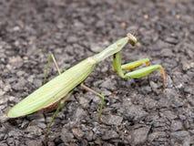 Mantis de prière vert Images libres de droits