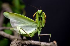 Mantis in Defensive Stance stock photos