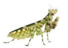 Mantis del fiore legato femmina o pugile asiatico fotografie stock libere da diritti