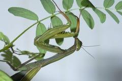 Mantis, der auf Sämling anhaftet Lizenzfreie Stockfotos