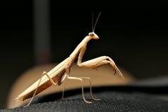 Mantis di preghiera Fotografia Stock Libera da Diritti