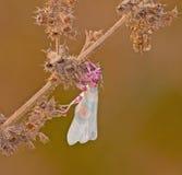 Mantis di preghiera coperto di spine del fiore sulla pianta Fotografia Stock