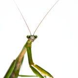 Mantis di preghiera maschio Immagini Stock Libere da Diritti