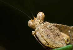 Mantis do pugilista Fotografia de Stock Royalty Free