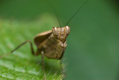 Mantis do pugilista Fotos de Stock
