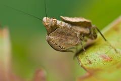 Mantis do pugilista Fotografia de Stock