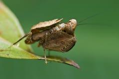 Mantis do pugilista Fotos de Stock Royalty Free