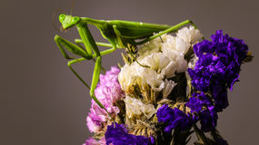 Mantis and dry flower Royalty Free Stock Photo