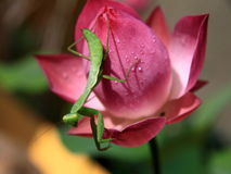 Mantis e loto Fotografia Stock