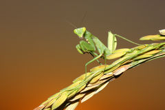 Mantis on ear of rice Stock Photography