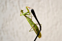 Mantis on the earpiece Stock Images