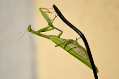 Mantis on the earpiece Stock Photo