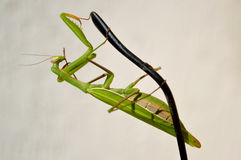 Mantis on the earpiece Stock Photography