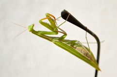Mantis on the earpiece Royalty Free Stock Photos