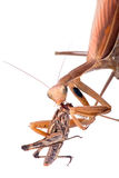 Mantis eat grasshopper Stock Photography
