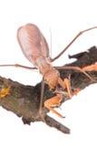Mantis eat grasshopper Royalty Free Stock Photo