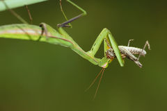 Mantis eat grasshopper Stock Photography