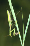 Mantis eat grasshopper Stock Photos