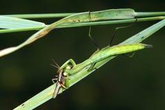 Mantis eat locust Stock Photo