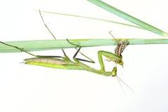 Mantis eat locust Stock Image