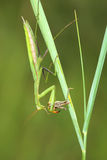 Mantis eat locust Royalty Free Stock Images
